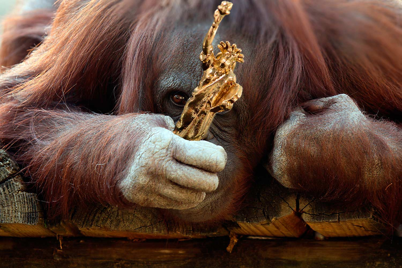 Un orangután gana el Premio Planeta de los Simios 2016