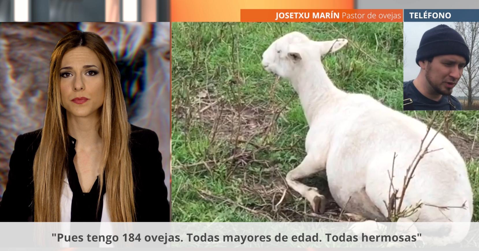 El 90 De Las Ovejas En España Se Cría Para Fines Sexuales El